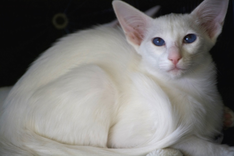Chat balinais foreign white